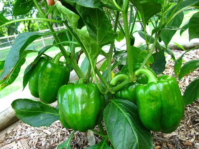 Если перец обильно плодоносит, но плоды не краснеют, то овощевод должен обратить внимание на